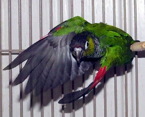 Breeders: Black/Maroon Tailed Conure for trade