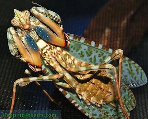 Praying Mantis - Blepharopsis Mendica (Thistle Mantis)