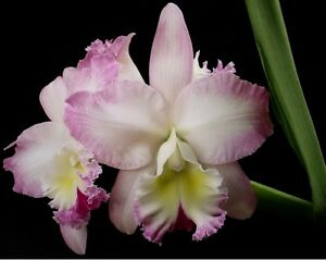Orchid Potinara Cloud's Creek Heavenly Scent -- Blooms in 2 yrs