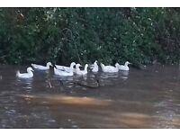 White Laying Ducks-Females