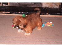 READY NOW! Beautiful Pure Bred Shih Tzu Girl Puppies