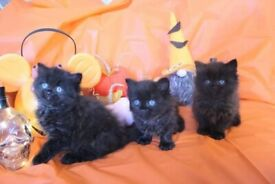 PERSIAN X GORGEOUS FLUFFY KITTENS FOR SALE