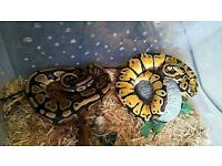 Two royal pythons for sale lemon pastal and normal royal come with all accessories needed.