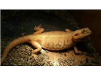 Female silkback Bearded dragon