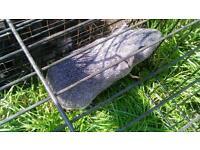 Male agouti guinea pig £10