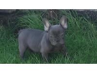 Blue french bulldog for sale READY NOW!
