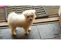 Bichon frise puppy & crate
