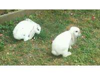 2 female rabbits and double hutch