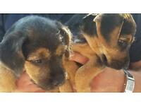 Terrier puppy's for sale