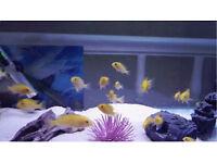 24-28 yellow labs £35 malawi cichlids