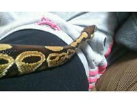 Female royal python forsale