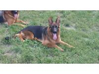 German shepperd female 7months old