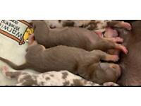 Miniature dachshund kc registered puppies