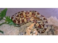 stunningly marked corn snake and set ups for sale