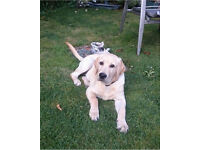 Six month old Labrador retriever needs a new forever home