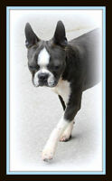CKC Boston Terrier puppies, breeding from calm healthy lines