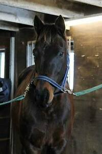 Sweet mare for half lease