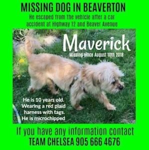 Small dog missing/lost since Aug 10th after a car accident.