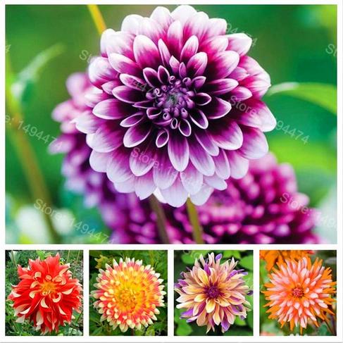 30 PCS Seeds Red Daisy Bonsai Flowers Dahlia Rare Plants Free Shipping 2019 New