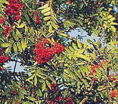 European Mountain ash Rowan fruit tree with berries Nice Tree LIVE PLANT ()