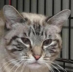 "Young Female Cat - Tabby (Gray)-Siamese: ""Chrissy"""
