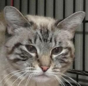 """Young Female Cat - Tabby (Gray)-Siamese: """"Chrissy"""""""