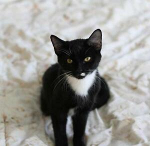 "Young Female Cat - Domestic Short Hair-black and white: ""Gemma"""