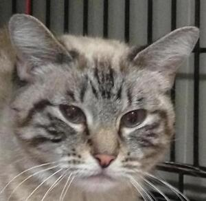 "Young Female Cat - Tabby - Grey-Siamese: ""Chrissy"""