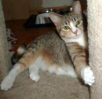 """Young Female Cat - Calico-Tabby: """"Pebbles"""""""