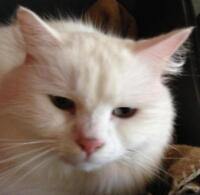 """Young Female Cat - Domestic Long Hair-white: """"Colette"""""""