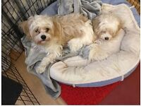 Lhasa Apso x Cavalier Puppies