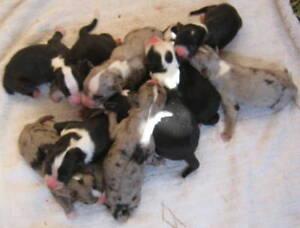 Australian Shepherd X Border Collie puppies born 10 Dec
