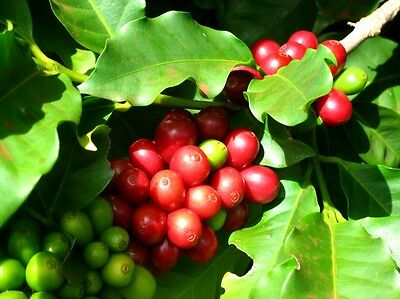Coffee Plant Seeds - KENYA PEABERRY - Vehicle STRONG BEANS - ONE POUND Seeds
