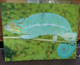Canvas print of a chameleon. I took the photo in Madagascan rainforest