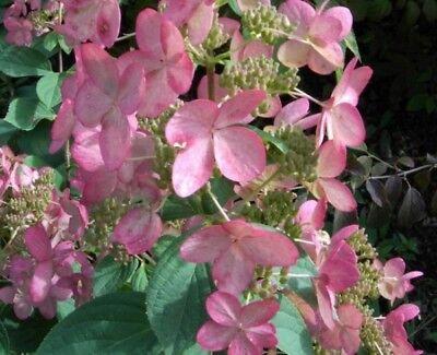 y Winky® - Hydrangea paniculata Pinky Winky® (Pinky Winky)
