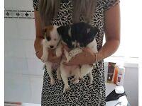 Jack Russell pups (short legs)