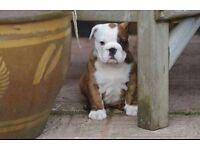 British bulldog female 8 weeks old
