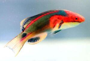 Poisson Labre Exquisite pour aquarium eau salee