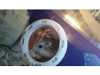 2 female dawarf hamsters