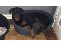 8 month old female Rottweiler