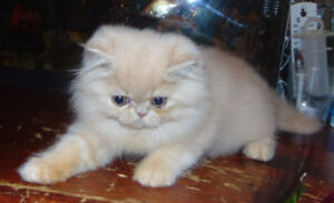 ready to go, cute adorable pure persian babies