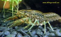 Self Cloning Marble Crayfish