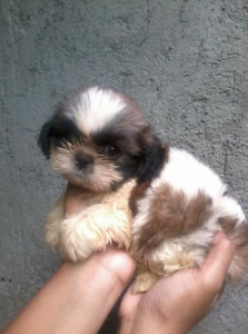 Wanted Small Puppy