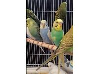 HIGH & STRONG QUALITY Budgies [£20 EACH] For Sale + Cages From £20