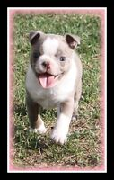 CKC Boston Terrier Puppies coming up this winter, ready in Jan