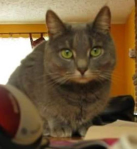 Missing Cat -  Woodlawn area (Topsail Blvd.)