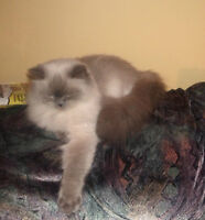 Chatte Himalayenne blue point