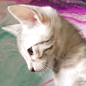 Stunning colors of bengal kittens available