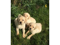 Gorgeous Labrador Puppies Ready