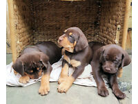 Gorgeous Hungarian Vizsla X Labrador Puppies